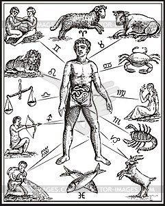 Anatomy of man`s body, as governed by the twelve constellations - vector clipart