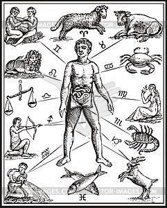Anatomie des Menschenkörper, wie durch die zwölf Sternbilder geregelt - Vektorgrafik
