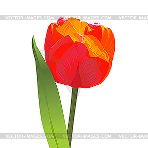 Rote Tulpe - Vektor-Clipart