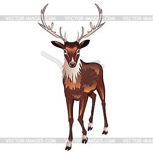 Brown Deer - Vektor-Abbildung