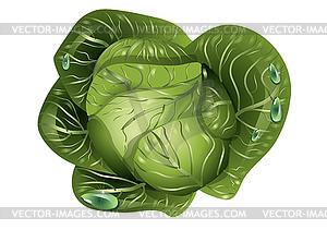 Kohl mit Wassertropfen - Vektor-Illustration